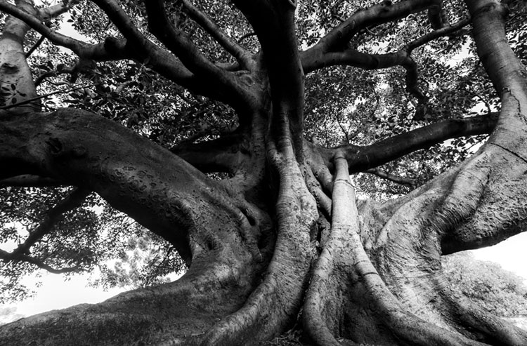 Black and white of Moreton Bay fig (Ficus macrophylla) at The Domain.