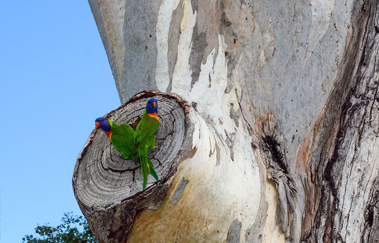 Two rainbow lorikeets inspecting a tree hollow for a potential nest.
