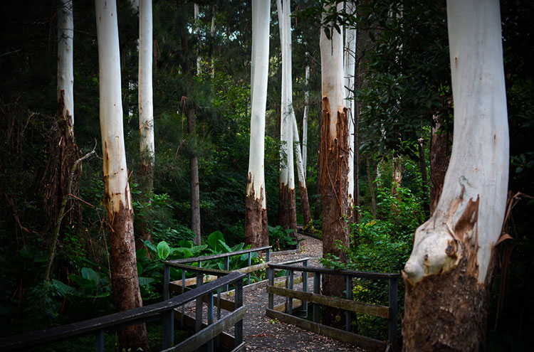Eucalyptus trees at Sir Phillip Game Reserve shedding their annual bark.