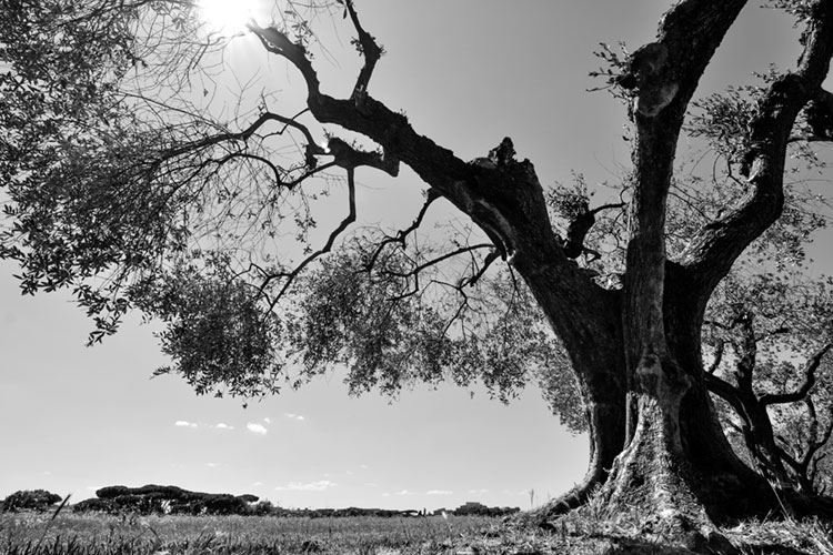Black and white photo of an old olive tree.