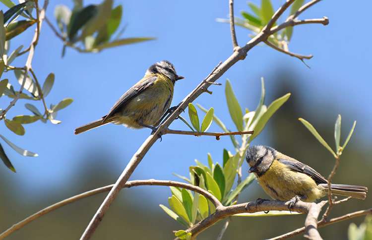 Eurasian blue tits sitting in an olive tree.