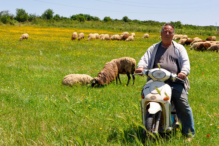 Sheep farmer on a motorbike with his flock.