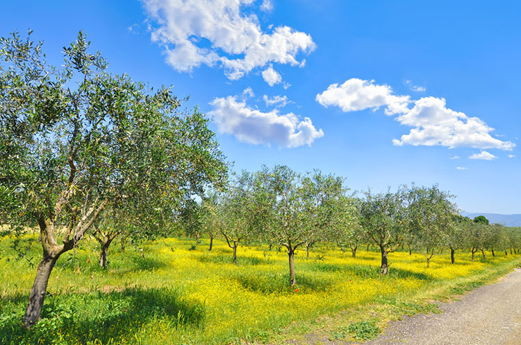 Olive trees and wildflowers in Italy.
