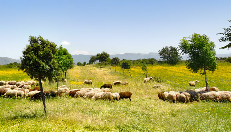 Sunny pastureland and wildflowers grazed by sheep.